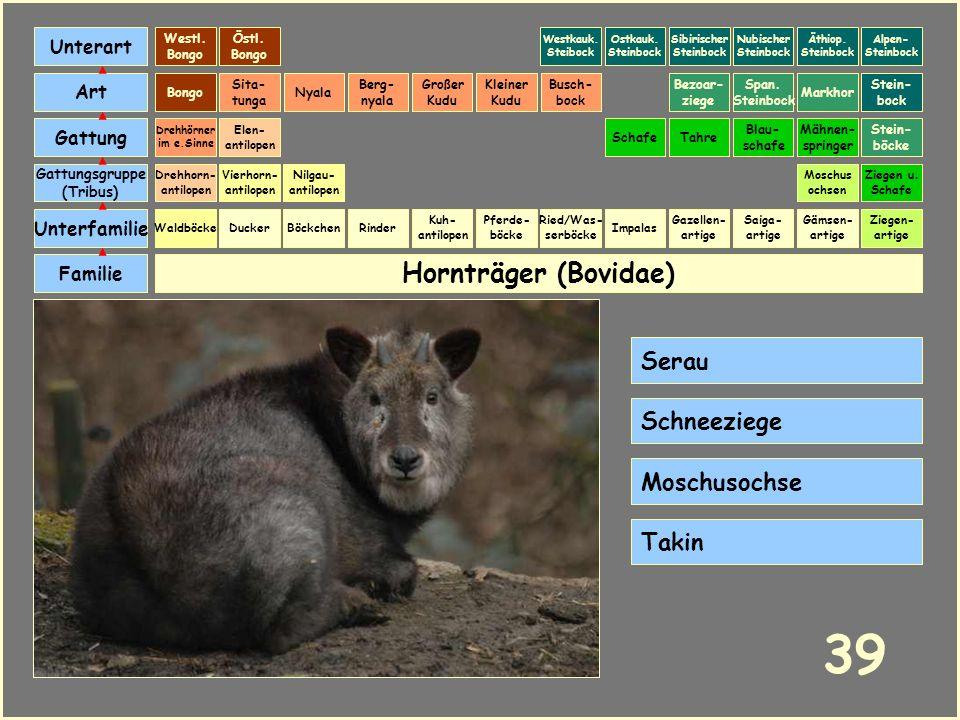 Hornträger (Bovidae) Böckchen Vierhorn- antilopen Familie Unterfamilie Gattungsgruppe (Tribus) Art Gattung Ducker 38 Nilgau- antilopen Ziegen u. Schaf