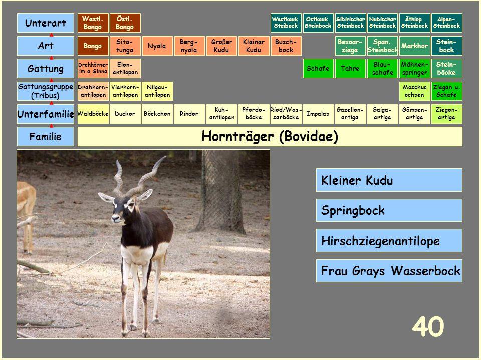 Hornträger (Bovidae) Böckchen Vierhorn- antilopen Familie Unterfamilie Gattungsgruppe (Tribus) Art Gattung Ducker 39 Nilgau- antilopen Ziegen u. Schaf