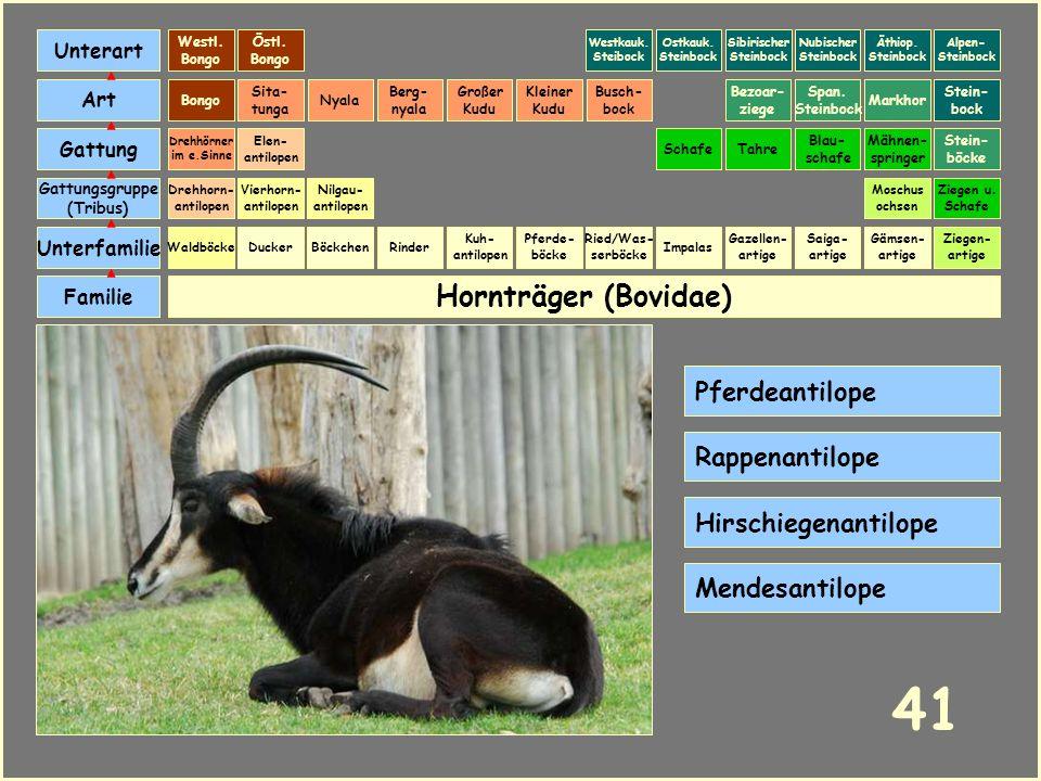 Hornträger (Bovidae) Böckchen Vierhorn- antilopen Familie Unterfamilie Gattungsgruppe (Tribus) Art Gattung Ducker 40 Nilgau- antilopen Ziegen u. Schaf