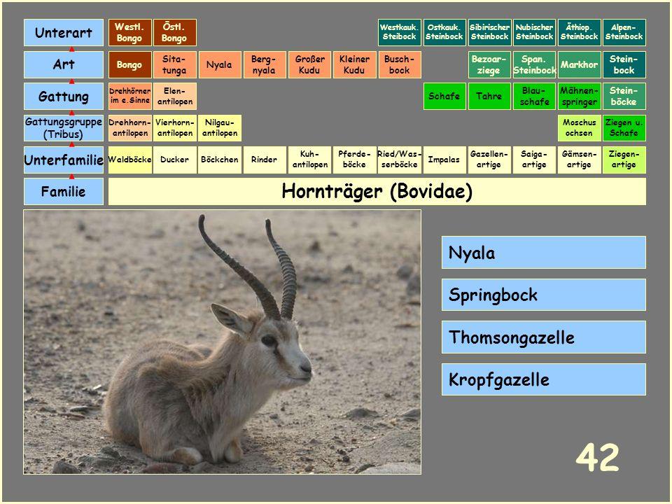 Hornträger (Bovidae) Böckchen Vierhorn- antilopen Familie Unterfamilie Gattungsgruppe (Tribus) Art Gattung Ducker 41 Nilgau- antilopen Ziegen u. Schaf