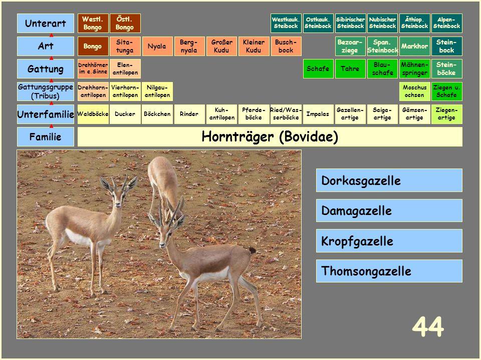 Hornträger (Bovidae) Böckchen Vierhorn- antilopen Familie Unterfamilie Gattungsgruppe (Tribus) Art Gattung Ducker 43 Nilgau- antilopen Ziegen u. Schaf