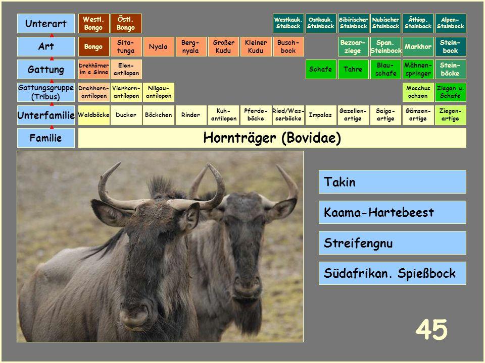Hornträger (Bovidae) Böckchen Vierhorn- antilopen Familie Unterfamilie Gattungsgruppe (Tribus) Art Gattung Ducker 44 Nilgau- antilopen Ziegen u. Schaf
