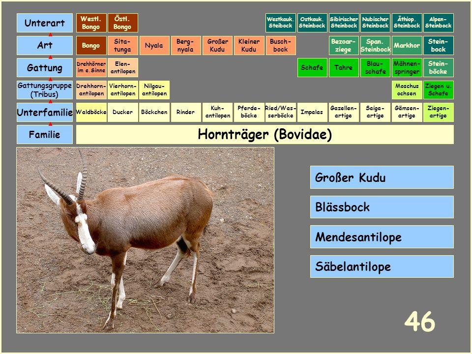 Hornträger (Bovidae) Böckchen Vierhorn- antilopen Familie Unterfamilie Gattungsgruppe (Tribus) Art Gattung Ducker 45 Nilgau- antilopen Ziegen u. Schaf