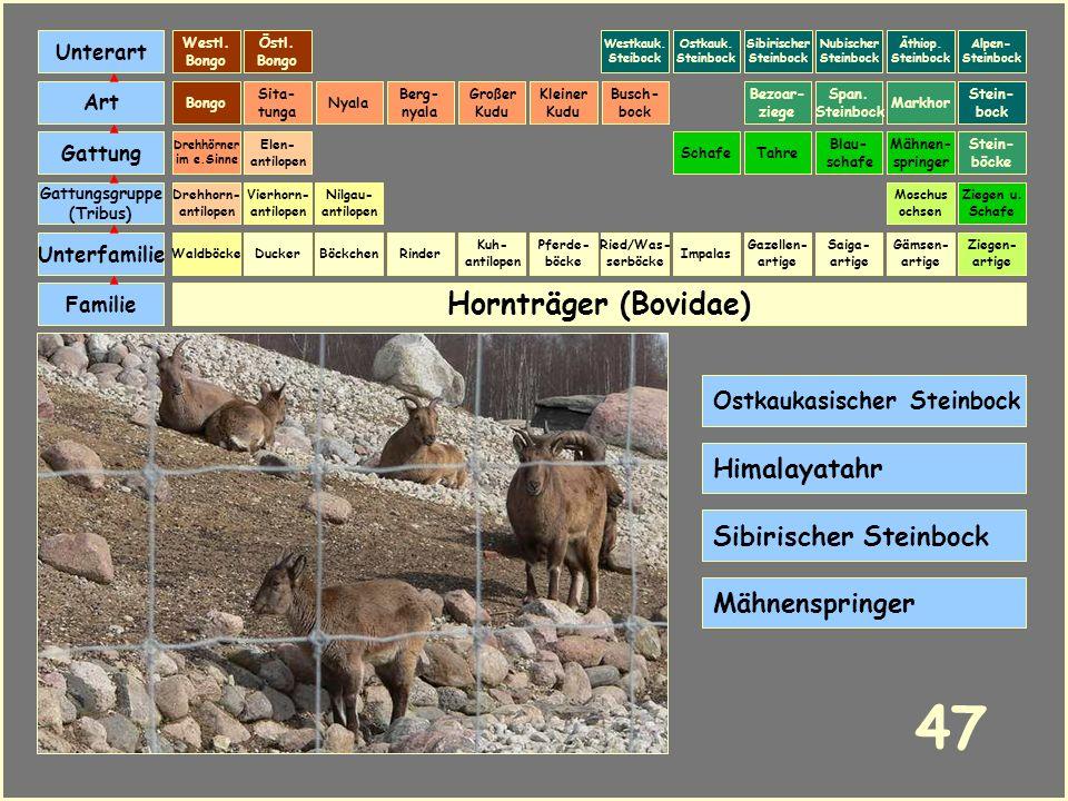 Hornträger (Bovidae) Böckchen Vierhorn- antilopen Familie Unterfamilie Gattungsgruppe (Tribus) Art Gattung Ducker 46 Nilgau- antilopen Ziegen u. Schaf