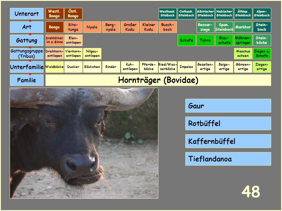 Hornträger (Bovidae) Böckchen Vierhorn- antilopen Familie Unterfamilie Gattungsgruppe (Tribus) Art Gattung Ducker 47 Nilgau- antilopen Ziegen u. Schaf