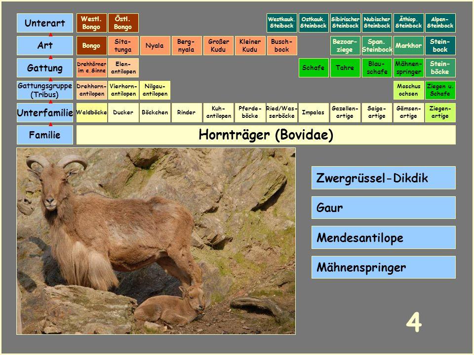 Hornträger (Bovidae) Böckchen Vierhorn- antilopen Familie Unterfamilie Gattungsgruppe (Tribus) Art Gattung Ducker 3 Nilgau- antilopen Ziegen u. Schafe