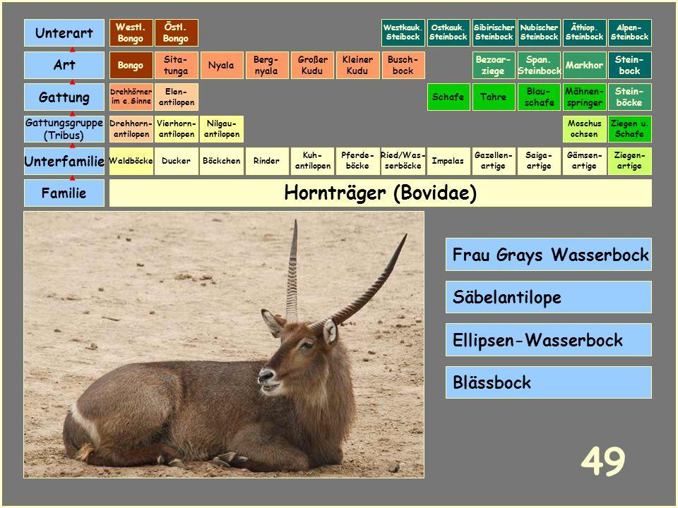 Hornträger (Bovidae) Böckchen Vierhorn- antilopen Familie Unterfamilie Gattungsgruppe (Tribus) Art Gattung Ducker 48 Nilgau- antilopen Ziegen u. Schaf