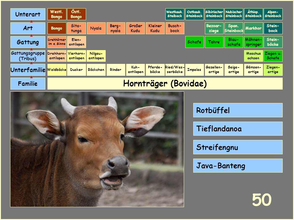 Hornträger (Bovidae) Böckchen Vierhorn- antilopen Familie Unterfamilie Gattungsgruppe (Tribus) Art Gattung Ducker 49 Nilgau- antilopen Ziegen u. Schaf