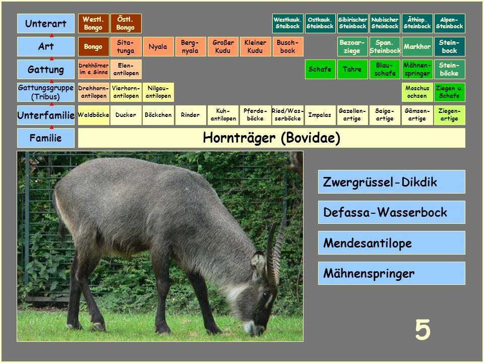 Hornträger (Bovidae) Böckchen Vierhorn- antilopen Familie Unterfamilie Gattungsgruppe (Tribus) Art Gattung Ducker 4 Nilgau- antilopen Ziegen u. Schafe