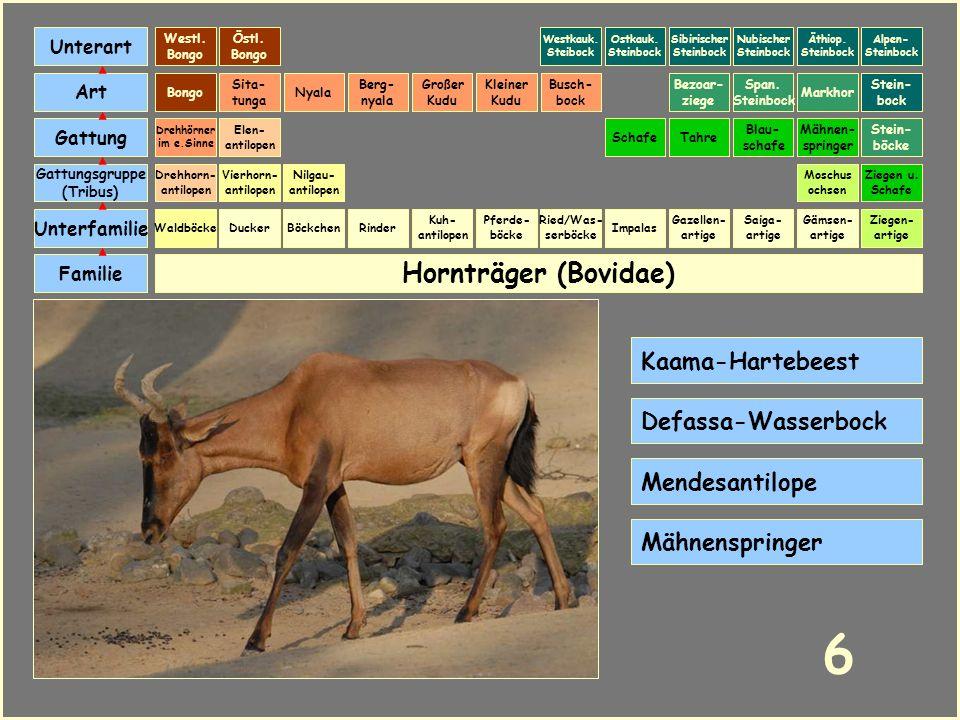 Hornträger (Bovidae) Böckchen Vierhorn- antilopen Familie Unterfamilie Gattungsgruppe (Tribus) Art Gattung Ducker 5 Nilgau- antilopen Ziegen u. Schafe