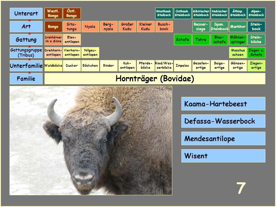 Hornträger (Bovidae) Böckchen Vierhorn- antilopen Familie Unterfamilie Gattungsgruppe (Tribus) Art Gattung Ducker 6 Nilgau- antilopen Ziegen u. Schafe