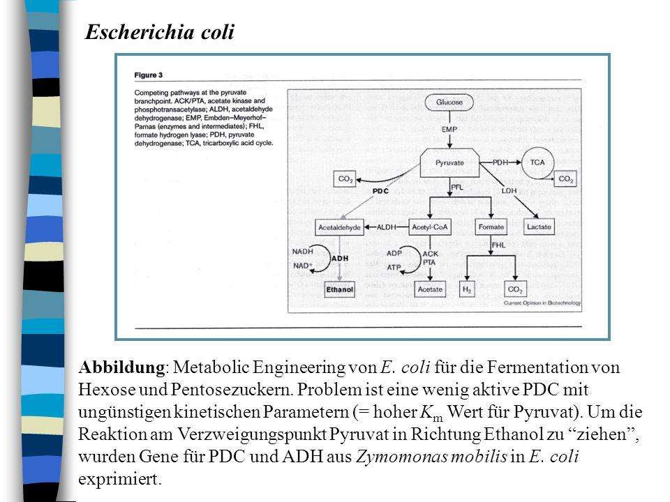 Escherichia coli Abbildung: Metabolic Engineering von E. coli für die Fermentation von Hexose und Pentosezuckern. Problem ist eine wenig aktive PDC mi