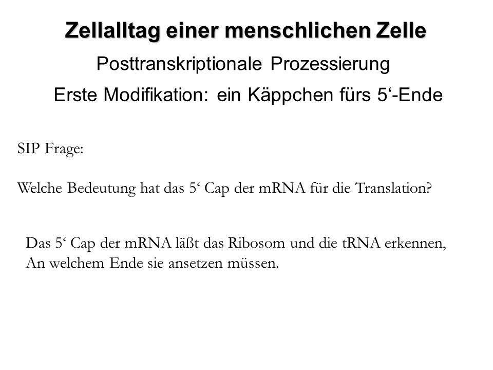 Zellalltag einer menschlichen Zelle Posttranskriptionale Prozessierung Erste Modifikation: ein Käppchen fürs 5-Ende SIP Frage: Welche Bedeutung hat da
