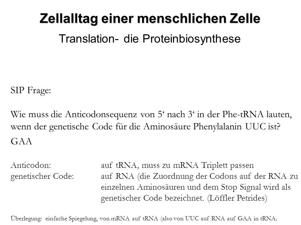 Zellalltag einer menschlichen Zelle Translation- die Proteinbiosynthese SIP Frage: Wie muss die Anticodonsequenz von 5 nach 3 in der Phe-tRNA lauten,