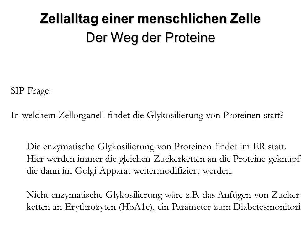 SIP Frage: In welchem Zellorganell findet die Glykosilierung von Proteinen statt? Die enzymatische Glykosilierung von Proteinen findet im ER statt. Hi