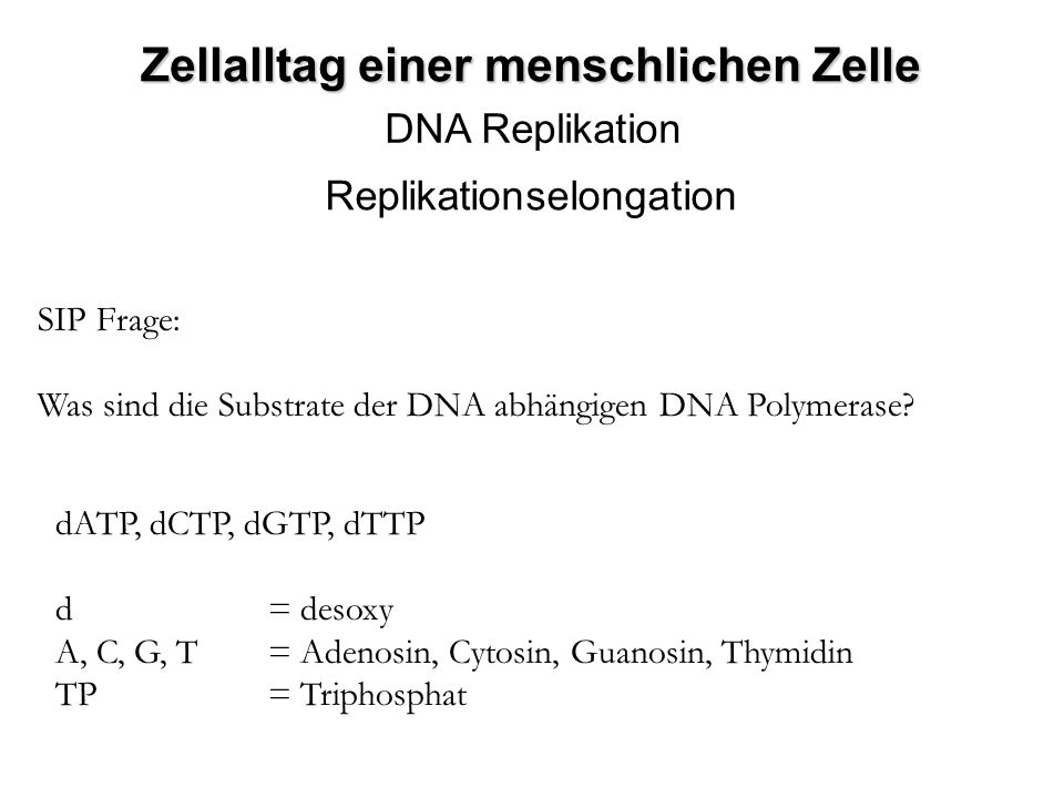 DNA Replikation Replikationselongation SIP Frage: Was sind die Substrate der DNA abhängigen DNA Polymerase? dATP, dCTP, dGTP, dTTP d = desoxy A, C, G,