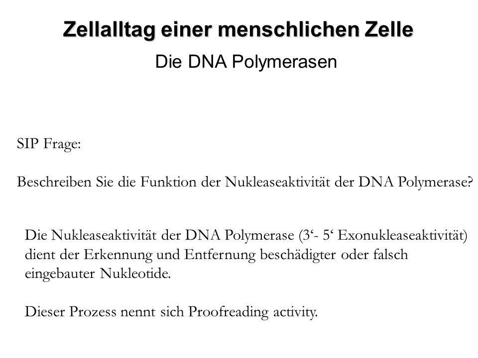 Zellalltag einer menschlichen Zelle Die DNA Polymerasen SIP Frage: Beschreiben Sie die Funktion der Nukleaseaktivität der DNA Polymerase? Die Nuklease