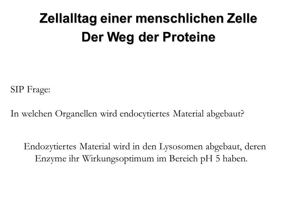 SIP Frage: In welchen Organellen wird endocytiertes Material abgebaut? Endozytiertes Material wird in den Lysosomen abgebaut, deren Enzyme ihr Wirkung
