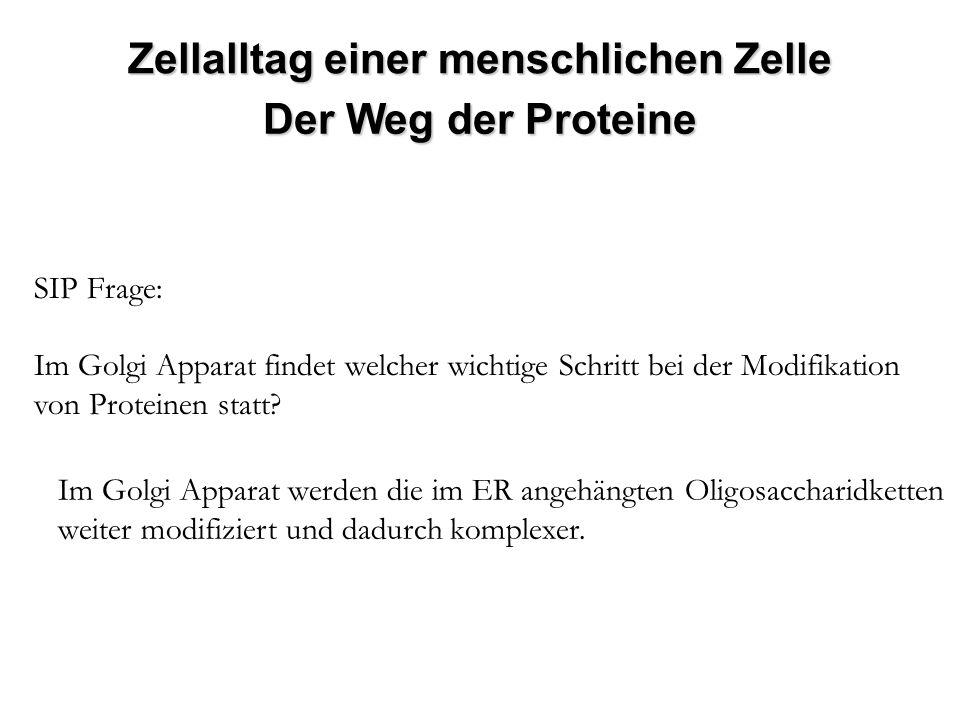 SIP Frage: Im Golgi Apparat findet welcher wichtige Schritt bei der Modifikation von Proteinen statt? Im Golgi Apparat werden die im ER angehängten Ol