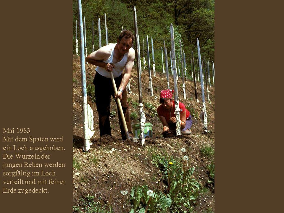 Mai 1983 Die neuen Reben werden gesetzt; das Zeitungspapier um die Rebstickel schützt die empfindlichen Reben vor der Holz-Imprägnierung.