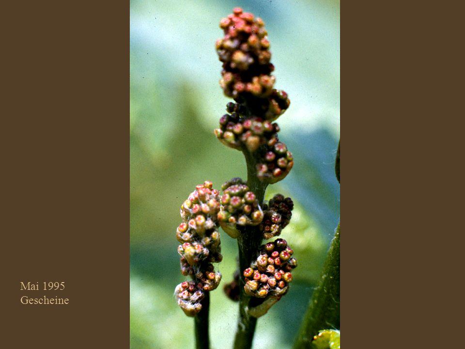 Trauben–Blüte
