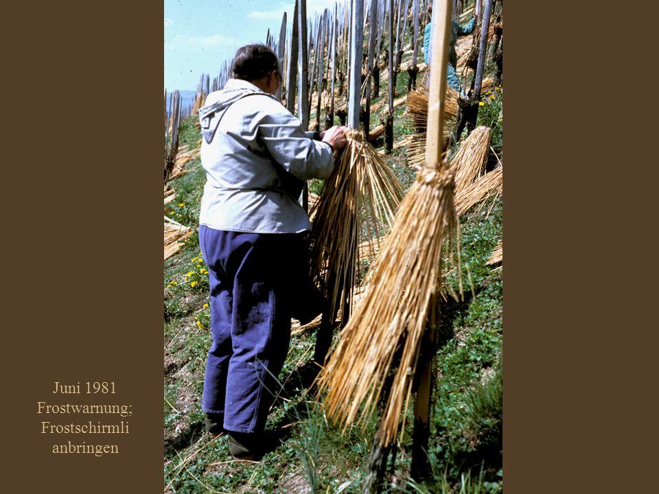 Juni 1981 Frostschutz an den alten Rebestöcken