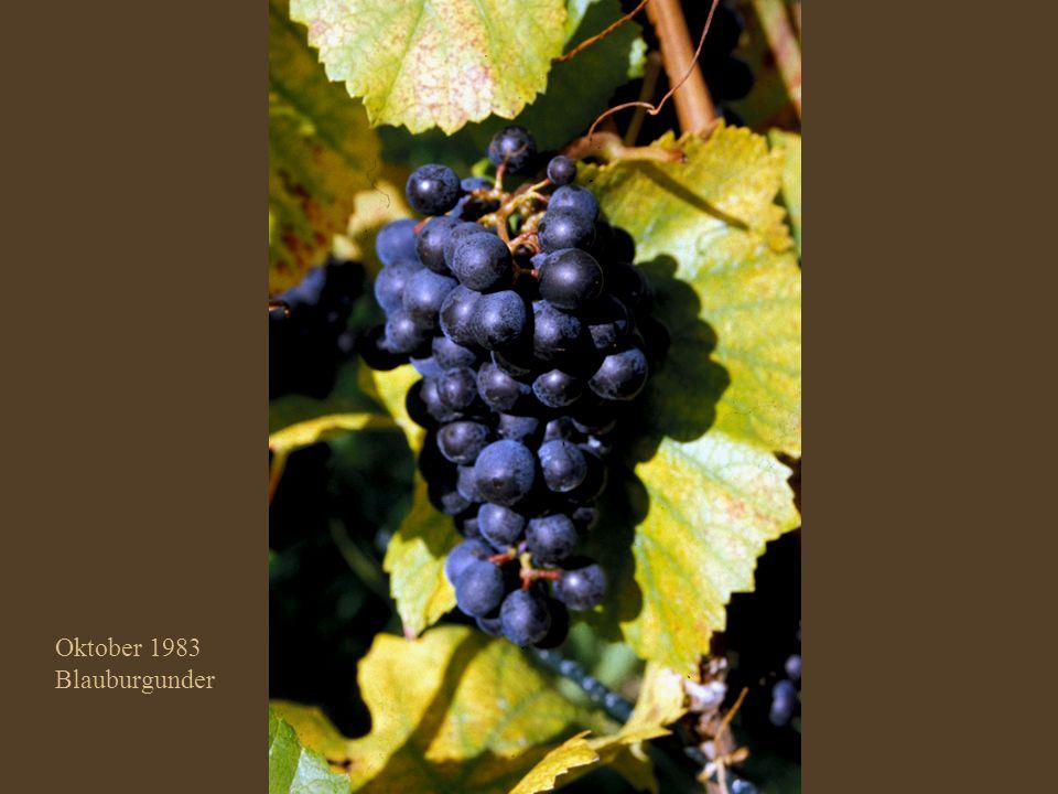 Oktober 2001 Blauburgunder Klon 10/5