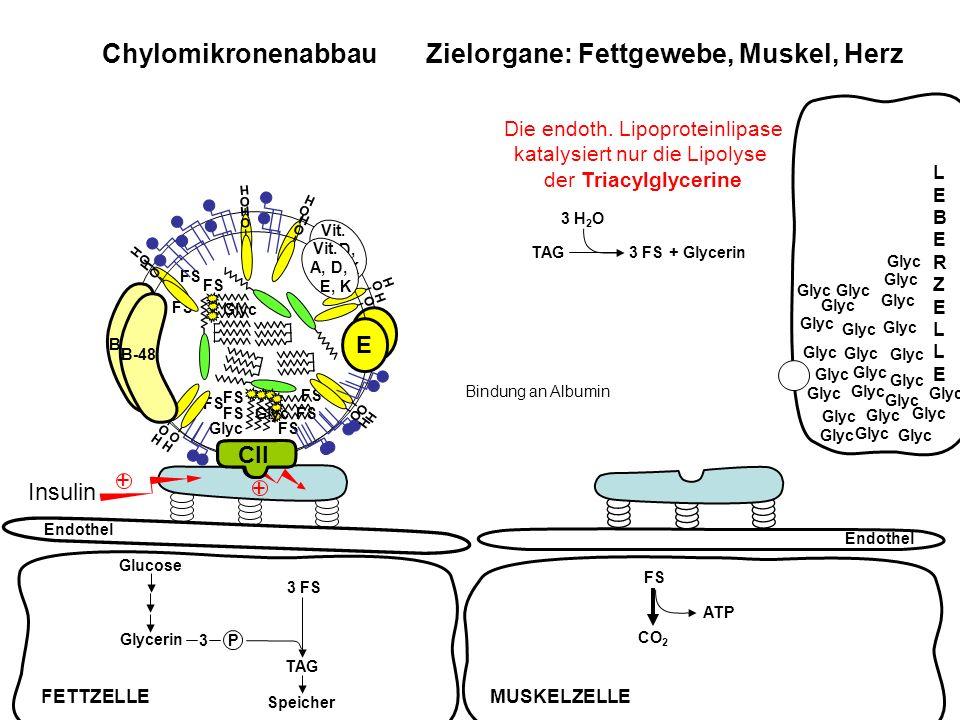FS ATP CO 2 Chylomikronenabbau Zielorgane: Fettgewebe, Muskel, Herz Endothel Insulin + + TAG3 FS + Glycerin 3 H 2 O FS Glyc FS Glyc FS Glyc FS FETTZEL