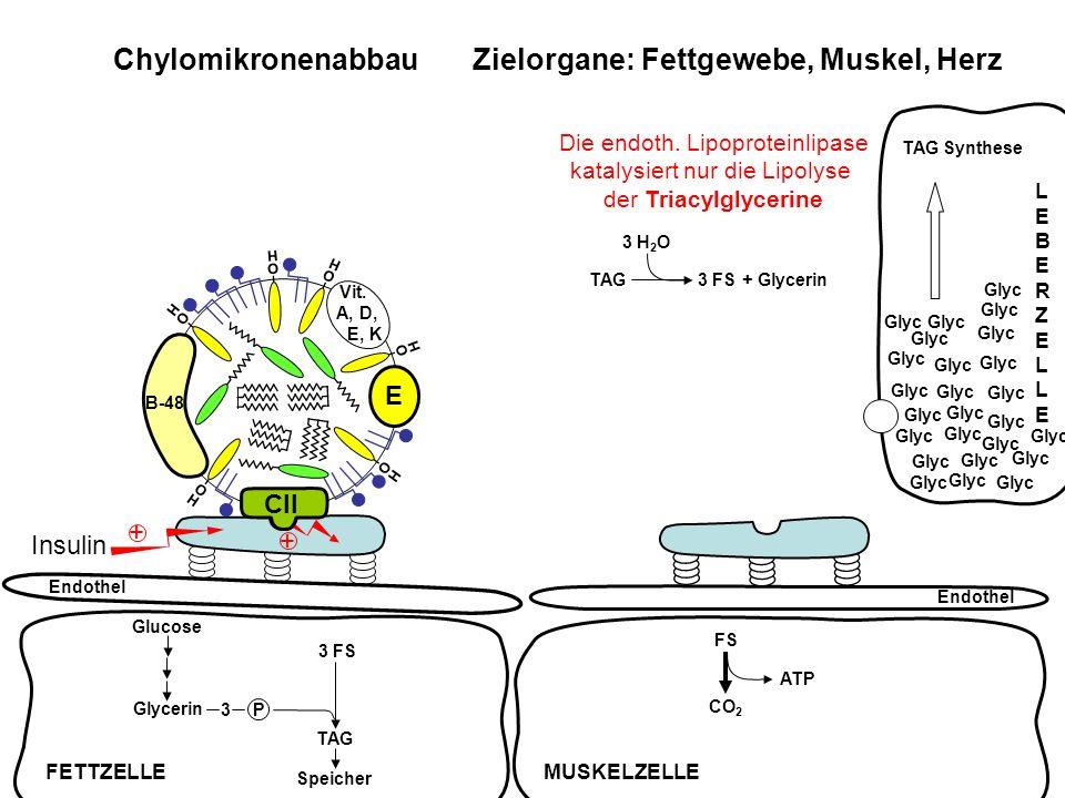 FS ATP CO 2 Chylomikronenabbau Zielorgane: Fettgewebe, Muskel, Herz Endothel Insulin + + TAG3 FS + Glycerin 3 H 2 O FETTZELLEMUSKELZELLE LEBERZELLELEB