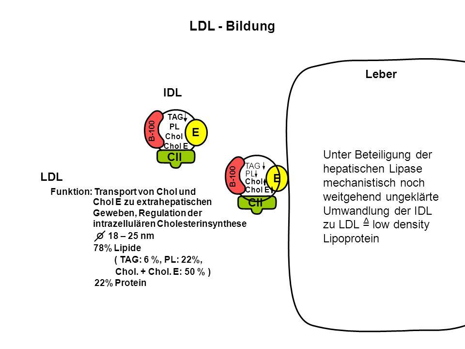 CII E B-100 Chol E Chol PL TAG Leber Unter Beteiligung der hepatischen Lipase mechanistisch noch weitgehend ungeklärte Umwandlung der IDL zu LDL = low