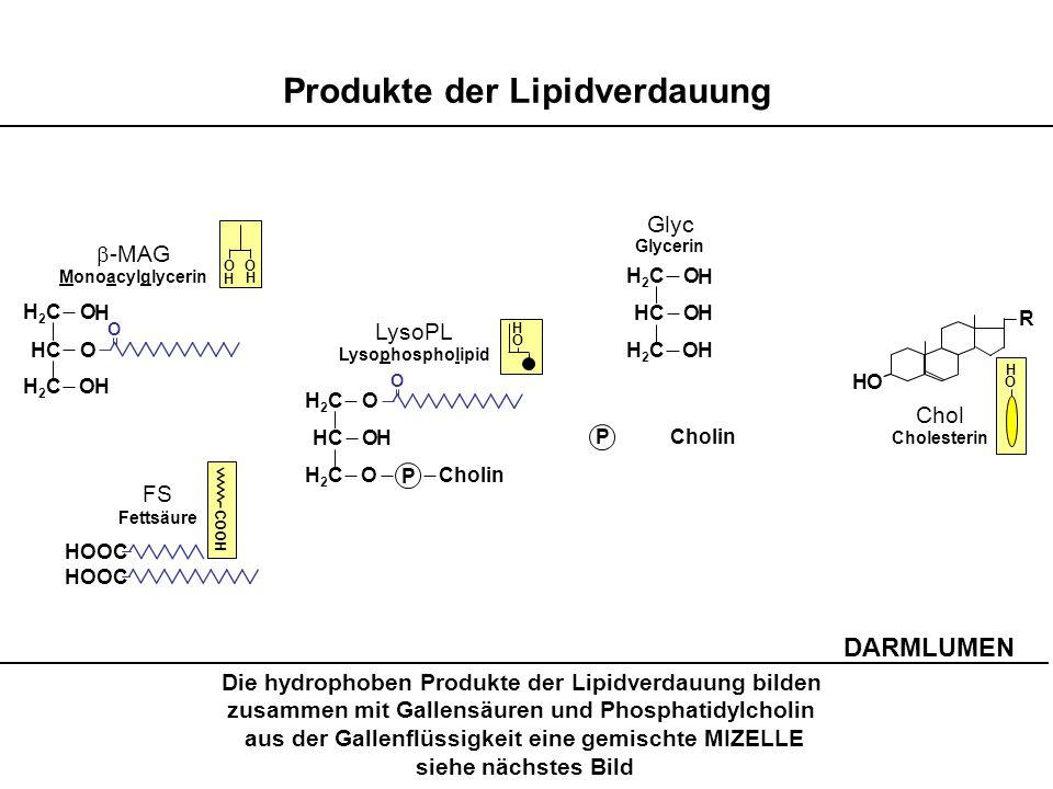 Die hydrophoben Produkte der Lipidverdauung bilden zusammen mit Gallensäuren und Phosphatidylcholin aus der Gallenflüssigkeit eine gemischte MIZELLE s