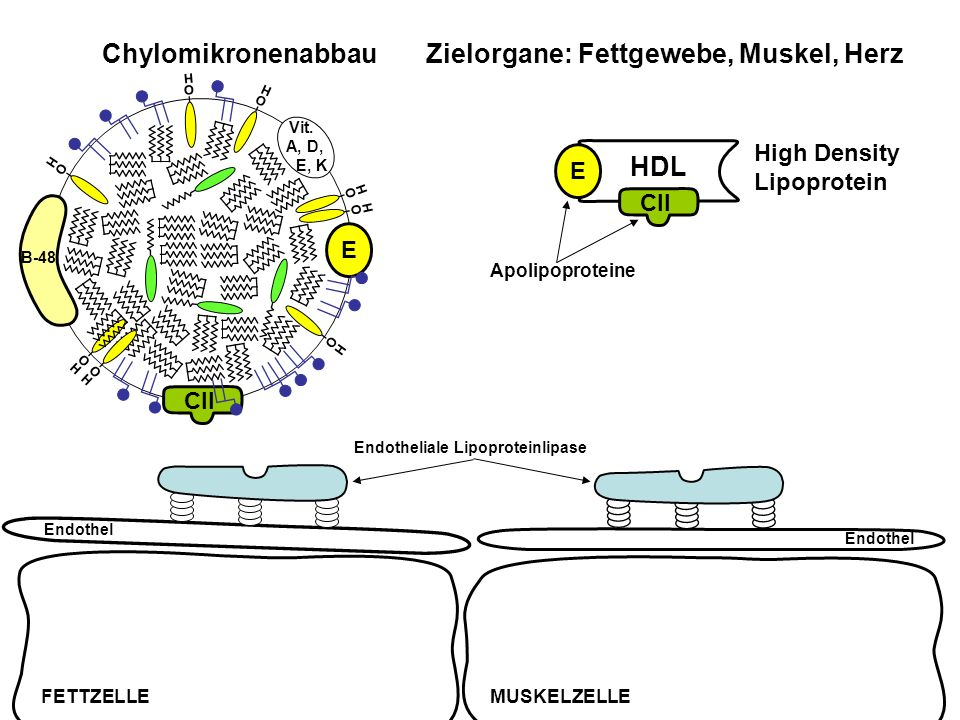 CII E O H O H O H B-48 O H Vit. A, D, E, K O H O H Chylomikronenabbau Zielorgane: Fettgewebe, Muskel, Herz High Density Lipoprotein HDL Endothel FETTZ