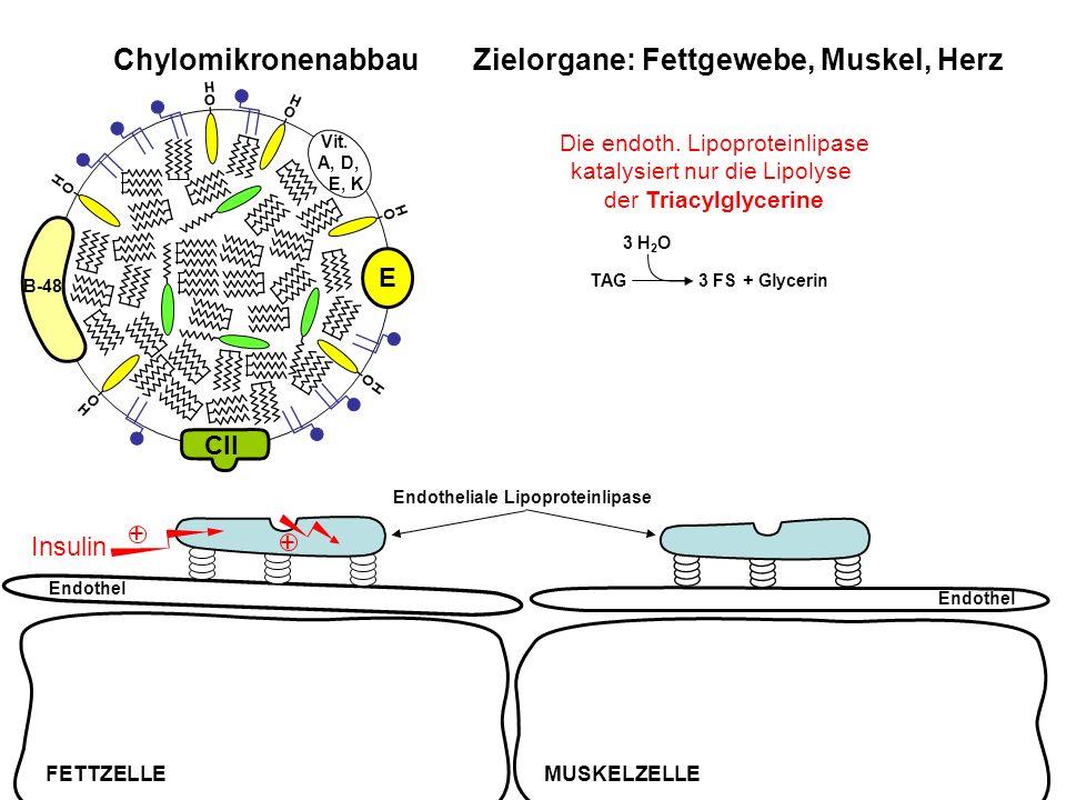 Chylomikronenabbau Zielorgane: Fettgewebe, Muskel, Herz Endothel FETTZELLEMUSKELZELLE Endothel Endotheliale Lipoproteinlipase Insulin + + TAG3 FS + Gl