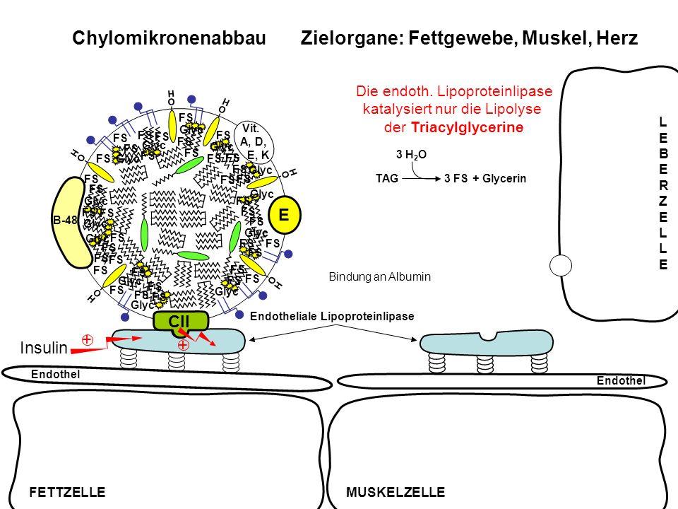B-48 O H Vit. A, D, E, K O H O H CII E O H O H O H Chylomikronenabbau Zielorgane: Fettgewebe, Muskel, Herz Endothel Insulin + + TAG3 FS + Glycerin 3 H