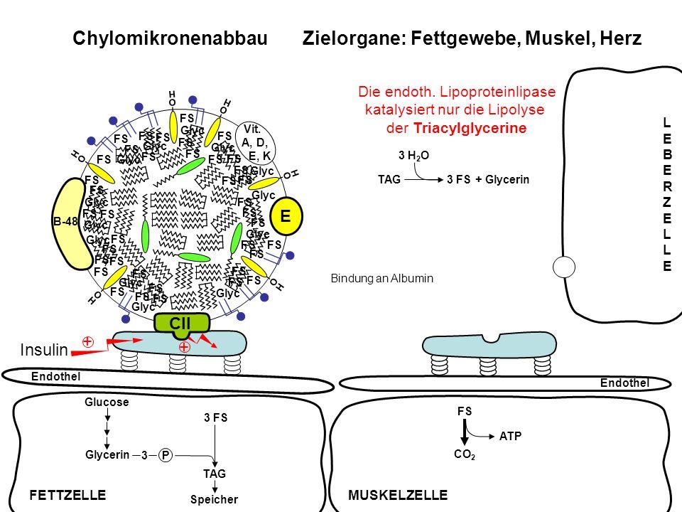 FS ATP CO 2 B-48 O H Vit. A, D, E, K O H O H E O H O H O H Chylomikronenabbau Zielorgane: Fettgewebe, Muskel, Herz Endothel Insulin + + TAG3 FS + Glyc
