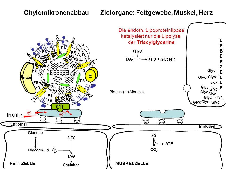 FS ATP CO 2 Chylomikronenabbau Zielorgane: Fettgewebe, Muskel, Herz Endothel Insulin + + TAG3 FS + Glycerin 3 H 2 O FS Glyc FS Glyc FS Glyc FS Glyc FS
