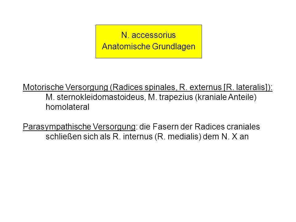 N. accessorius Anatomische Grundlagen Motorische Versorgung (Radices spinales, R. externus [R. lateralis]): M. sternokleidomastoideus, M. trapezius (k