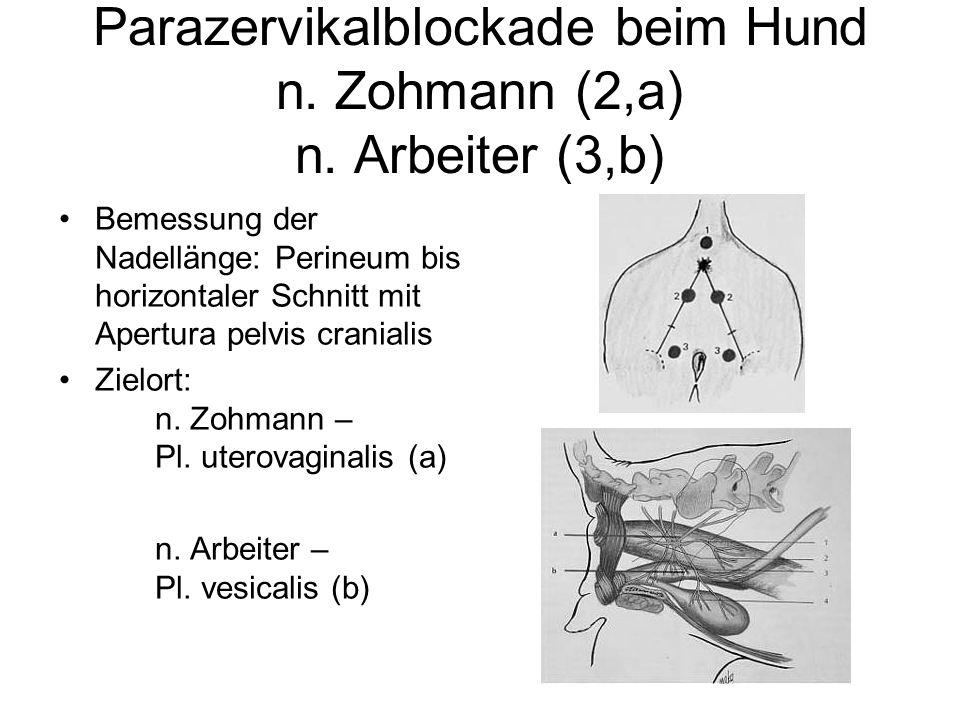 Parazervikalblockade beim Hund n. Zohmann (2,a) n. Arbeiter (3,b) Bemessung der Nadellänge: Perineum bis horizontaler Schnitt mit Apertura pelvis cran