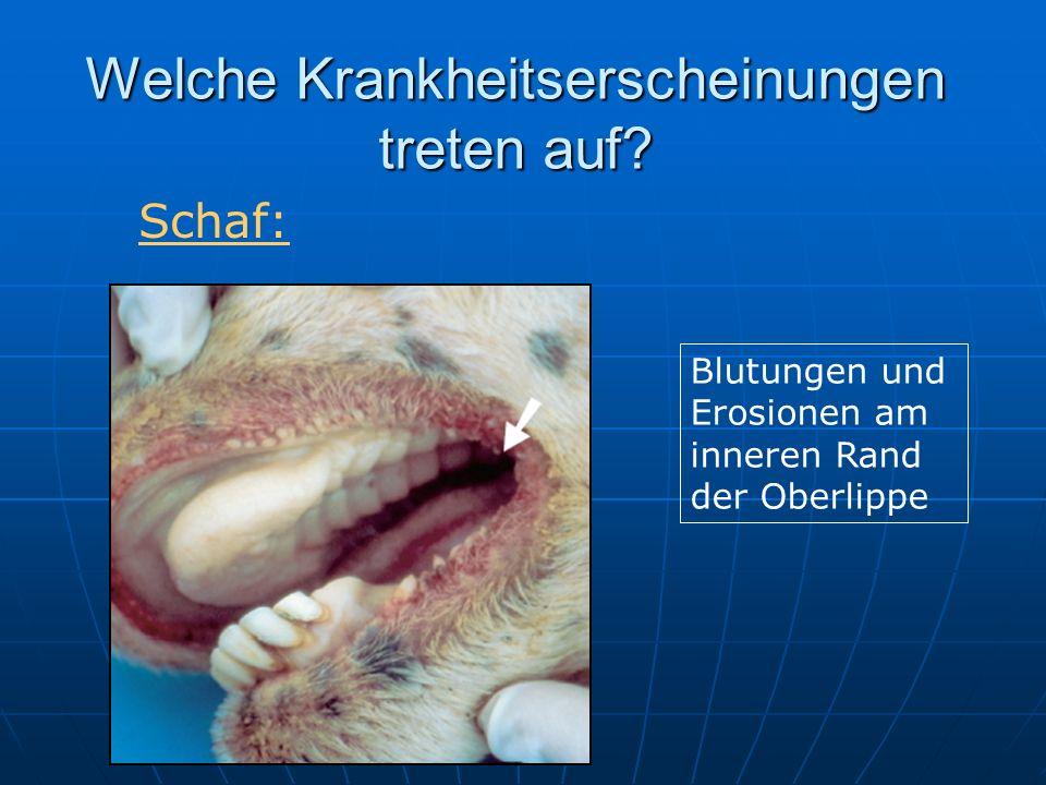 Welche Krankheitserscheinungen treten auf? Blutungen und Erosionen am inneren Rand der Oberlippe Schaf: