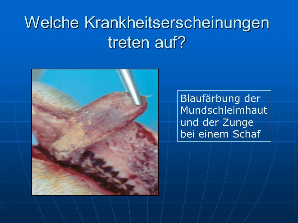 Welche Krankheitserscheinungen treten auf? Blaufärbung der Mundschleimhaut und der Zunge bei einem Schaf