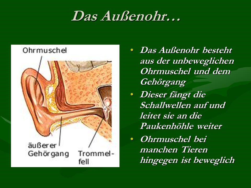Das Außenohr… Das Außenohr besteht aus der unbeweglichen Ohrmuschel und dem Gehörgang Dieser fängt die Schallwellen auf und leitet sie an die Paukenhöhle weiter Ohrmuschel bei manchen Tieren hingegen ist beweglich
