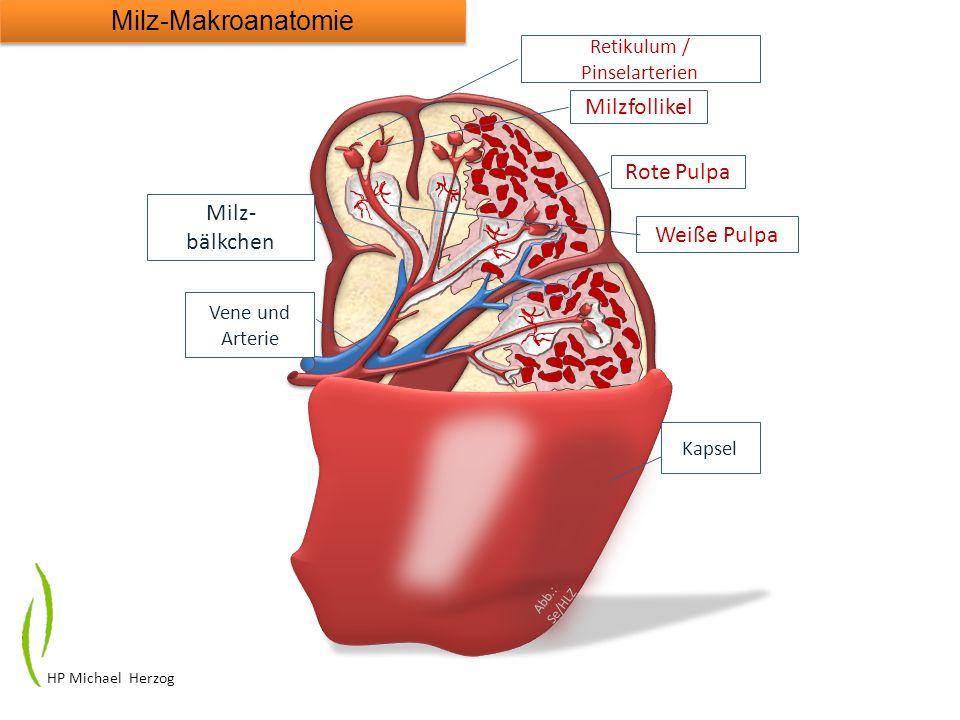 Rote Pulpa Weiße Pulpa Kapsel Milz- bälkchen Abb.: Se/HLZ Vene und Arterie Milzfollikel Retikulum / Pinselarterien Milz-Makroanatomie HP Michael Herzo