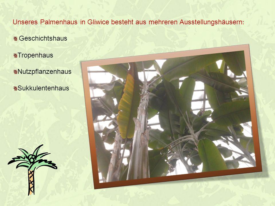 Geschichtshaus Hier befinden sich die ältesten und größten Pflanzen, die in unserem, Palmenhaus anzusehen sind.