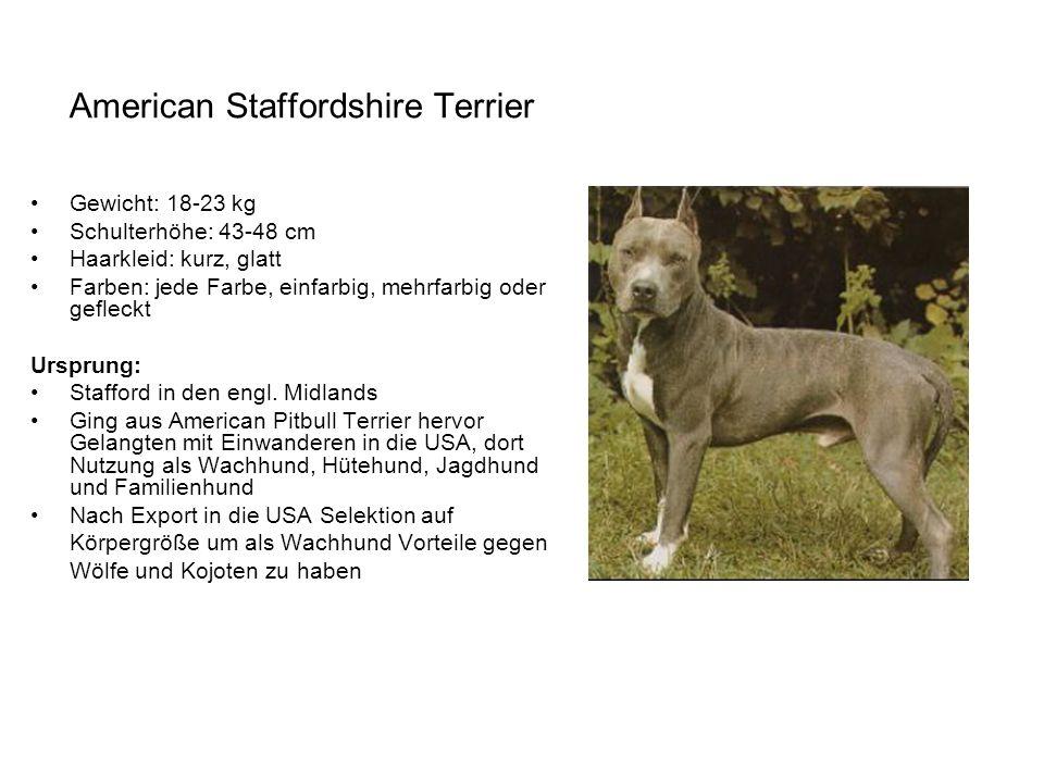 American Staffordshire Terrier Gewicht: 18-23 kg Schulterhöhe: 43-48 cm Haarkleid: kurz, glatt Farben: jede Farbe, einfarbig, mehrfarbig oder gefleckt
