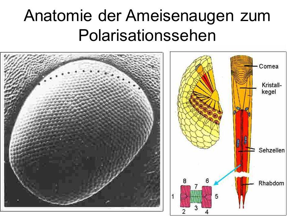 Anatomie der Ameisenaugen zum Polarisationssehen