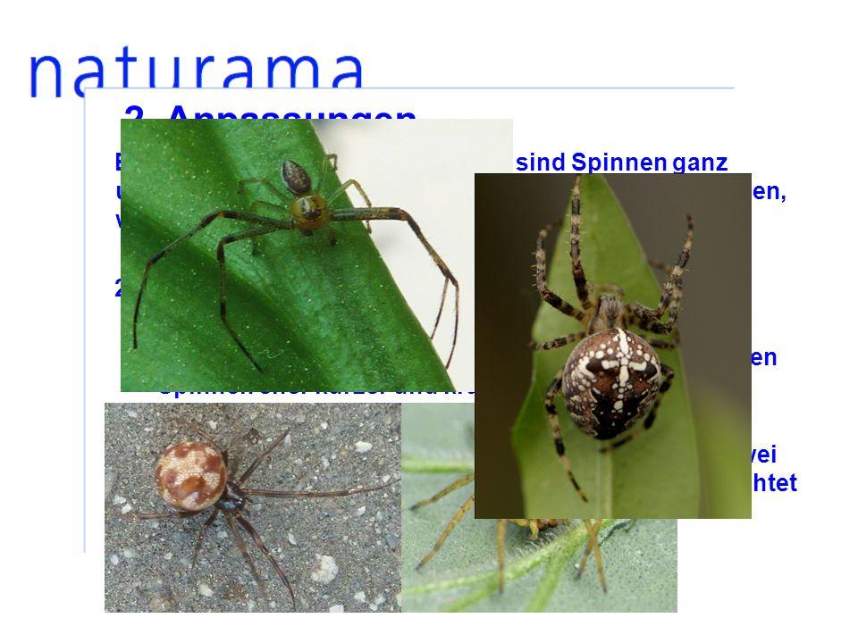 Entsprechend ihrer Jagdstrategien sind Spinnen ganz unterschiedlich gebaut.