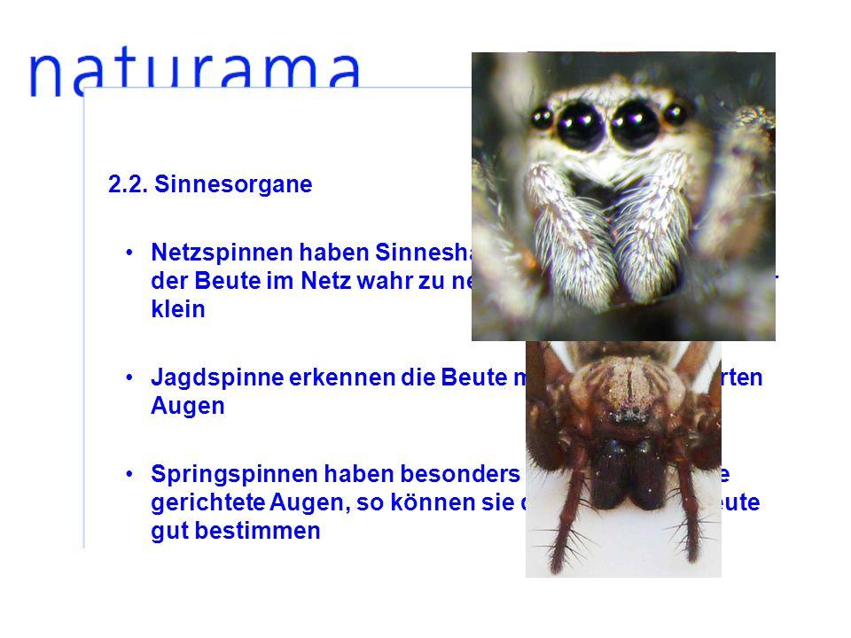 2.2. Sinnesorgane Netzspinnen haben Sinneshaare, um Erschütterungen der Beute im Netz wahr zu nehmen, ihre Augen sind nur klein Jagdspinne erkennen di