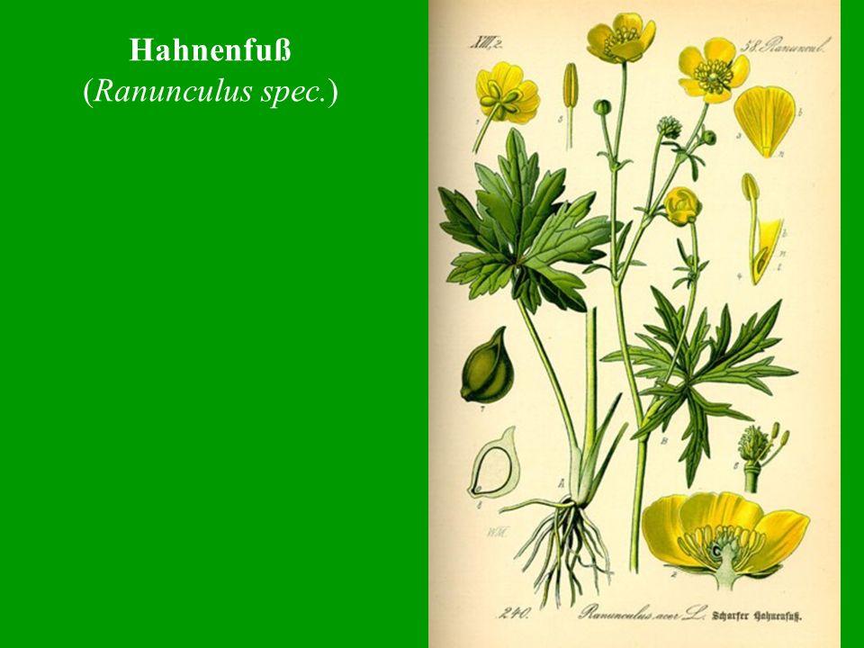 Hahnenfuß (Ranunculus spec.)