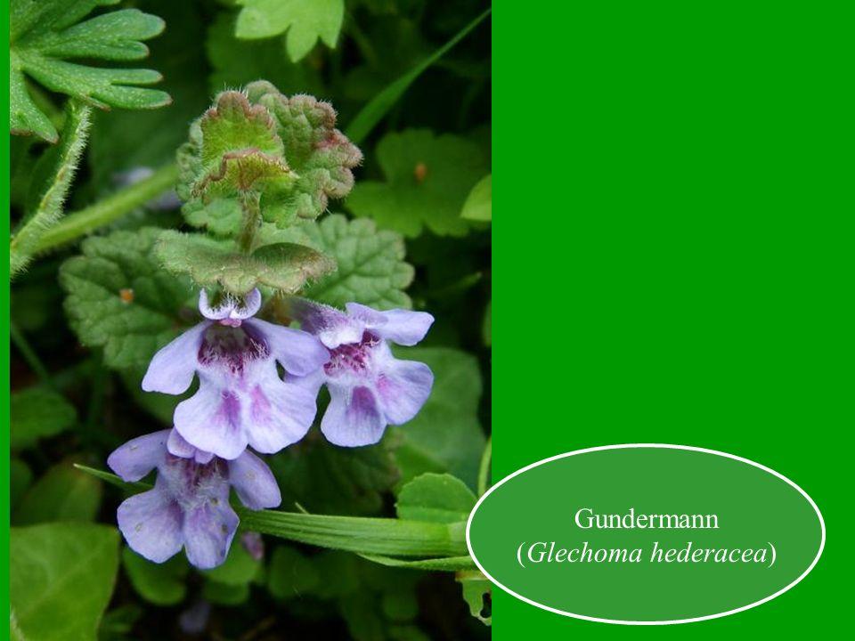 Gundermann (Glechoma hederacea)