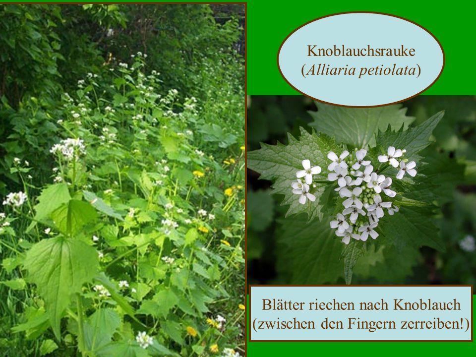 Knoblauchsrauke (Alliaria petiolata) Blätter riechen nach Knoblauch (zwischen den Fingern zerreiben!)